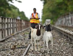 No Kidding: Goats on the Tracks