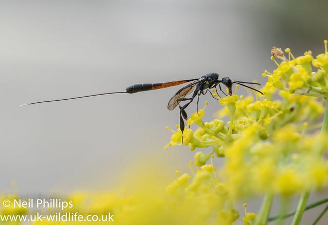 Gasteruption jaculator wasp