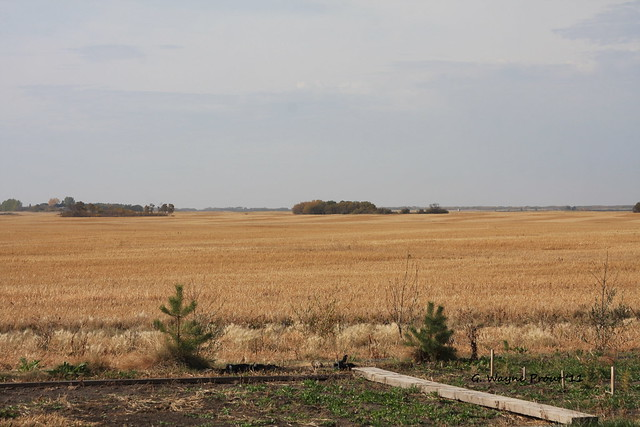 Harvested Field of Wheat