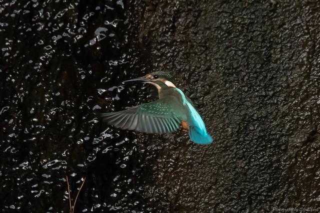 20180908-kingfisher-DSC_8393