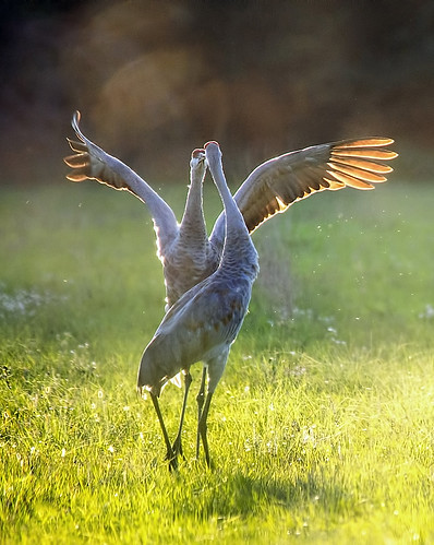 Cranes frolic in the sun