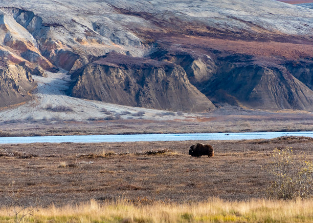 Musk Ox by Sag River
