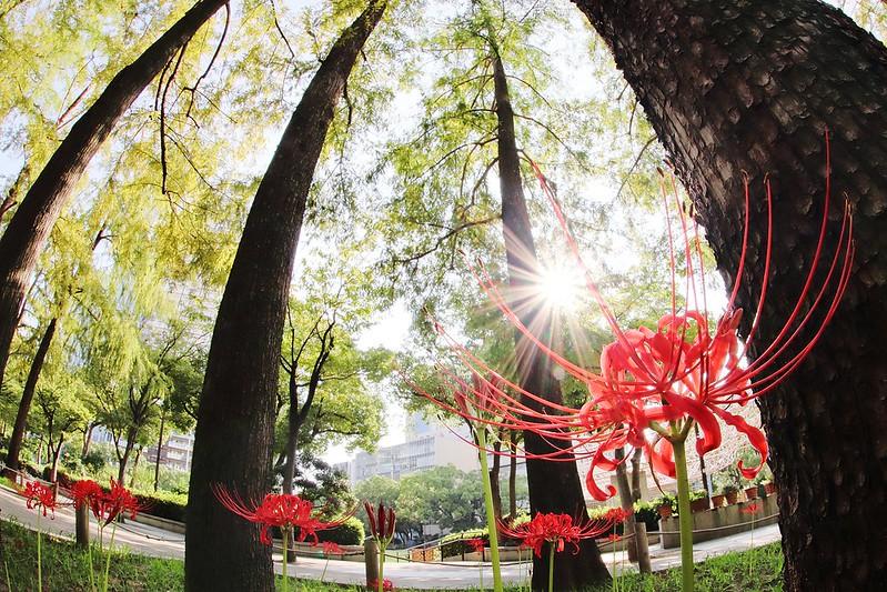 彼岸花 Cluster‐amaryllis