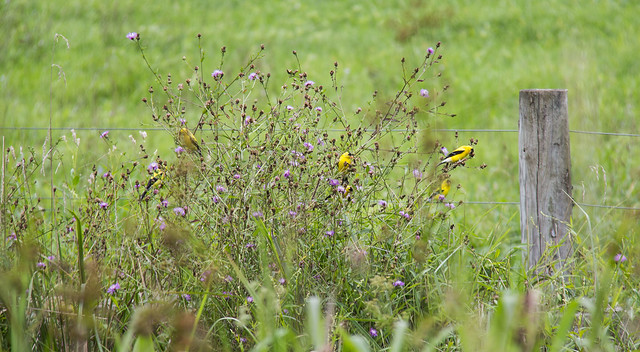 bush full of goldfinches