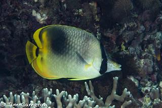 IMG_0439-Diving-200818-Hybrid. Butterflyfish.jpg