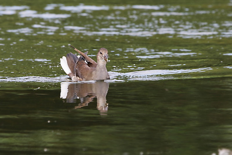Juvenile Moorhen
