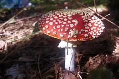 Amanite tue-mouches - Photo of Connigis