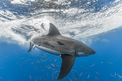 Image by George Probst (sharkpix) and image name Spin Cycle photo  about Ratel, a male great white shark, makes a quick 180 off Mexico's Isla de Guadalupe, creating a bit of a commotion at the water's surface.    Guadalupe's white sharks are identified, cataloged, and named through a photo identification research project that has been going on for over 15 years. Ratel wa