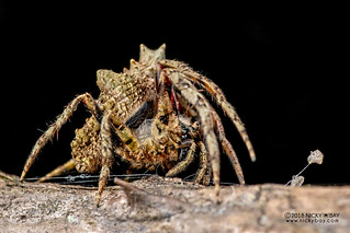 Tree stump orb weaver (Poltys sp.) - DSC_1297
