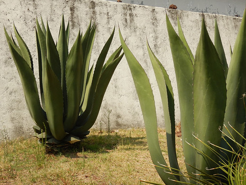 Agaves against a white wall in Puebla, Mexico