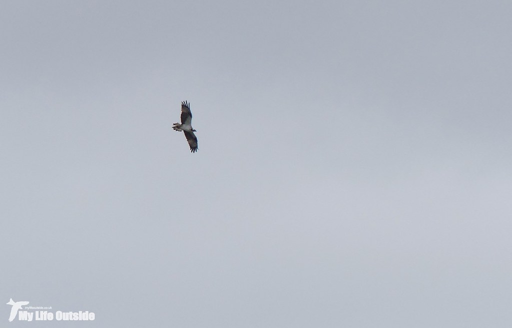 P1170829 - Osprey, Rutland Water