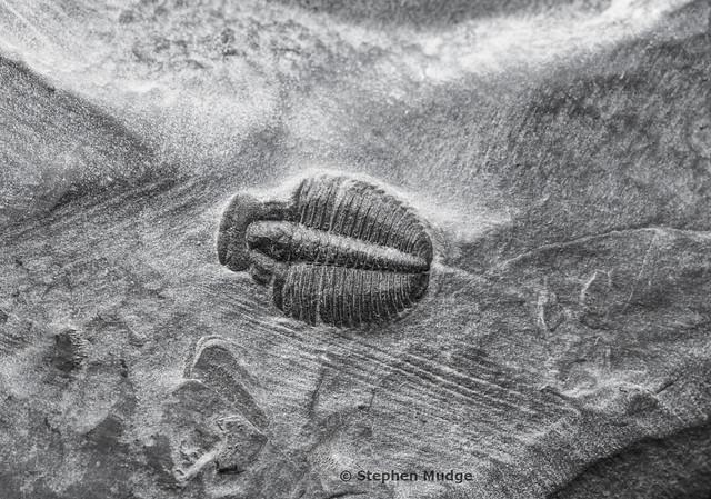 Trilobite in shale