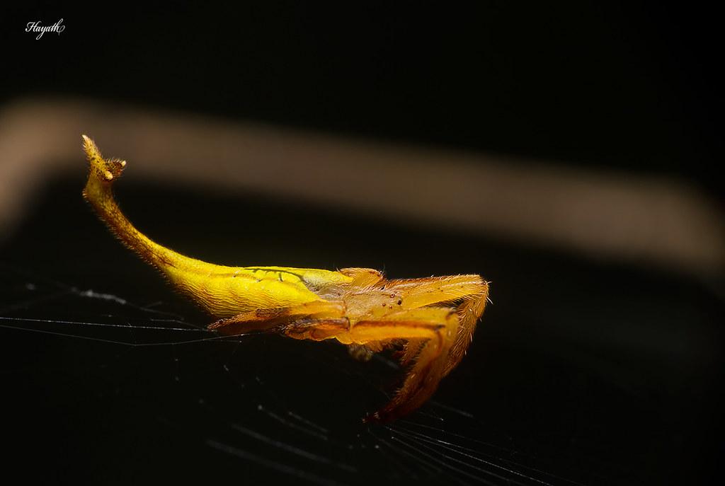 Scorpion-tailed spider, Arachnura sp