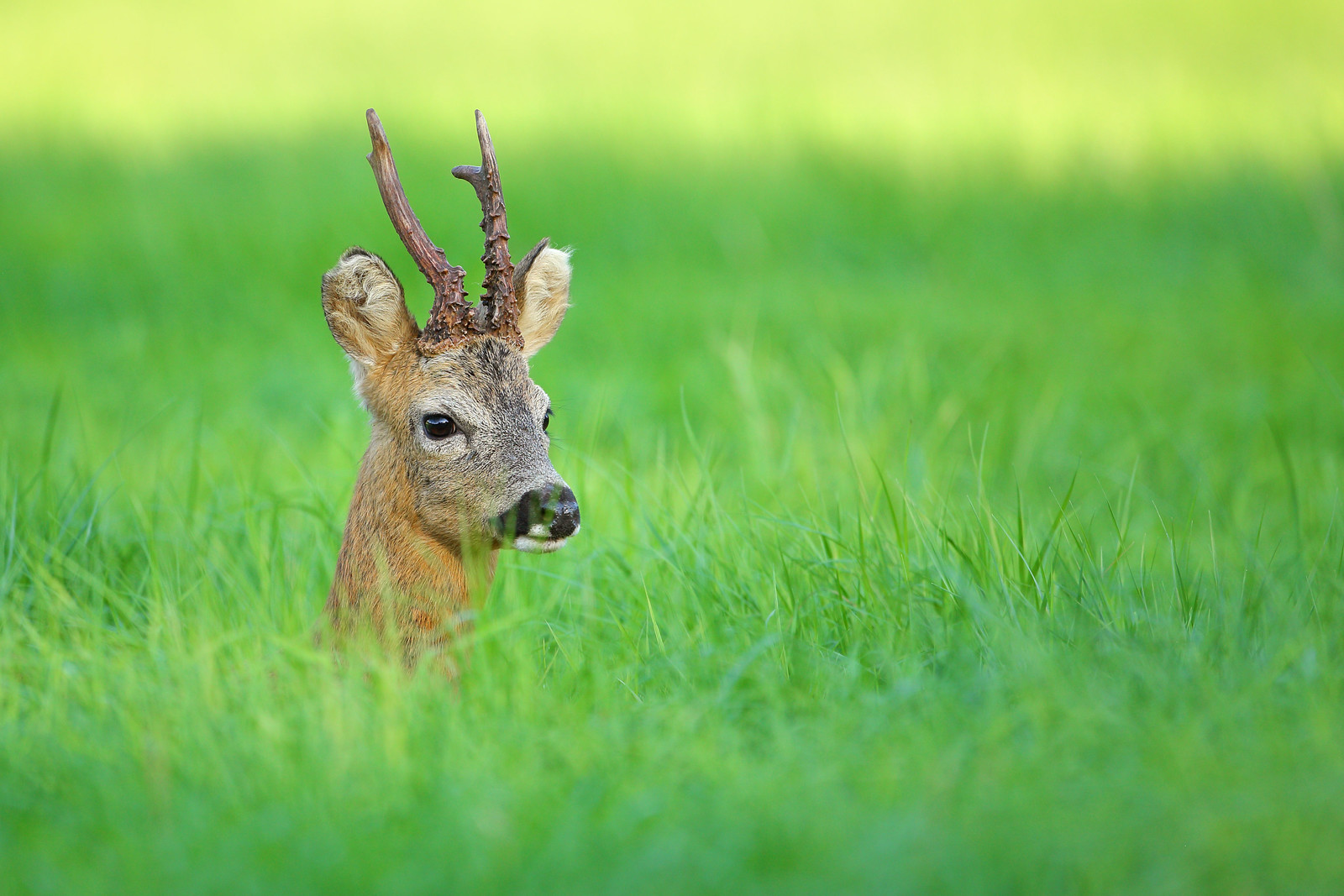 Roe Buck Close Portrait