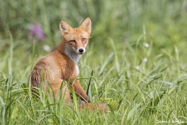 Red fox, Canon EOS-1D X MARK II, Canon EF 600mm f/4.0L IS II USM
