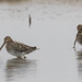 A Pair of Snipe at RSPB Frampton Marsh