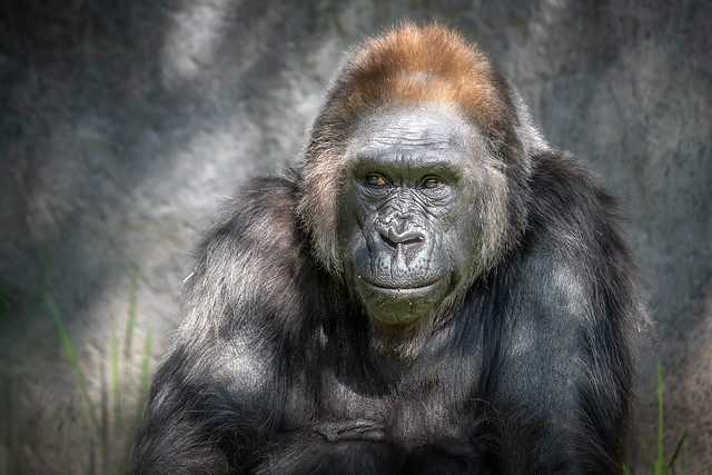 Gorilla Grandmother