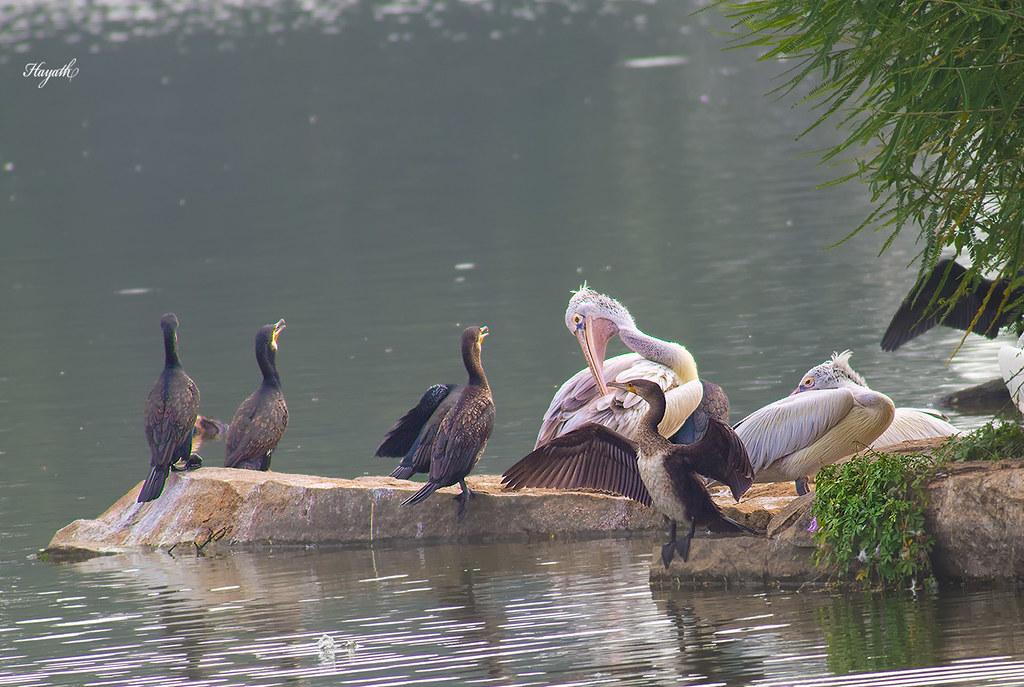Pelican amongst Cormorants