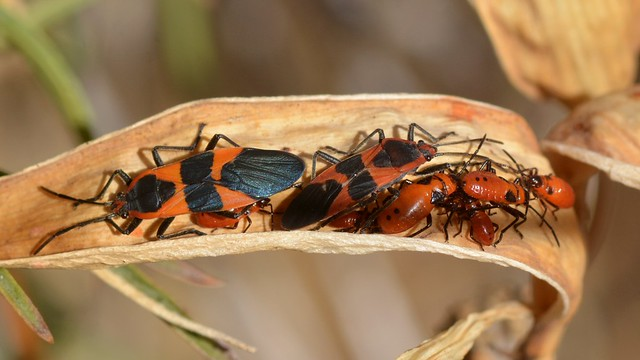 Large Milkweed Bugs on Narrow-leaved Milkweed