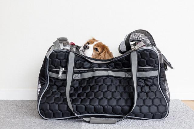 同行避難のためキャリーバッグに入る犬