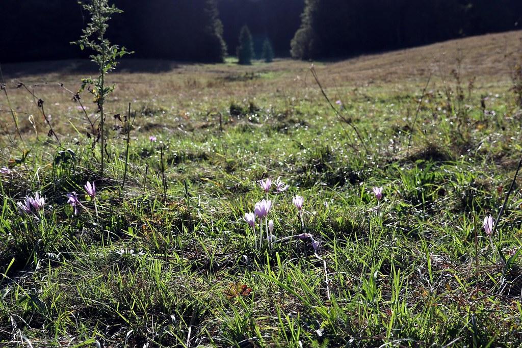 Herbstzeitlose im Vessertal 3