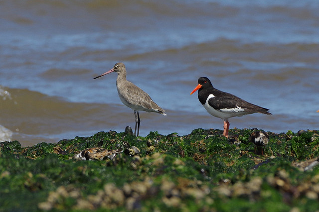 K32P0654c Oystercatcher and Black-tailed, RICOH PENTAX K-3 II, HD PENTAX-D FA 150-450mm F4.5-5.6 ED DC AW