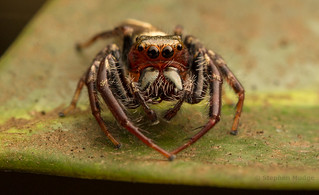 Opisthoncus sp. | by mudge.stephen