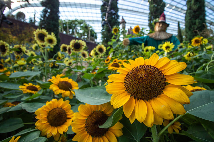 gardens by the bay sunflower displays