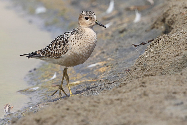 Juv. Buff-breasted Sandpiper 4/11, Canon EOS 7D MARK II, Canon EF 400mm f/4 DO IS