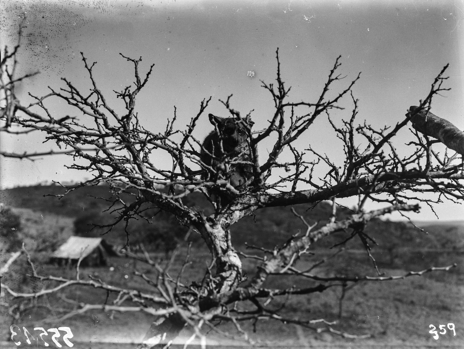 Южно-Африканский Союз. В окрестностях Претории. Галаго на дереве