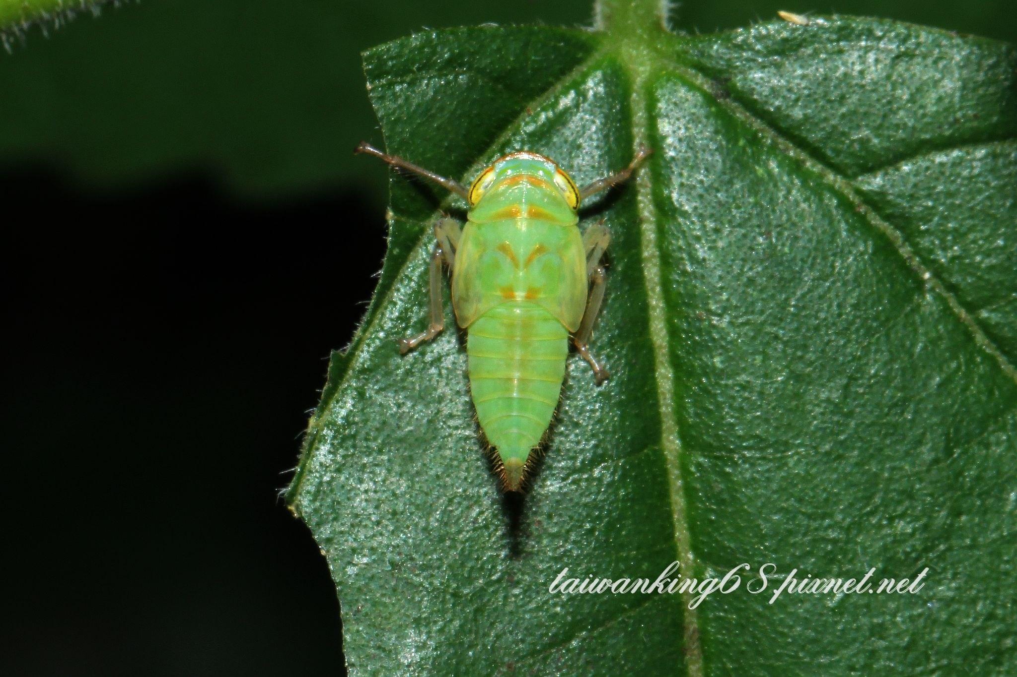 褐翅葉蟬的若蟲