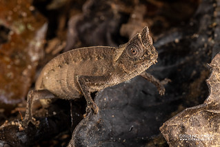 Brown leaf chameleon (Brookesia superciliaris) - DSC_9913