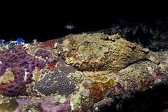 Stonefish (Synanceia verrucosa) at the night