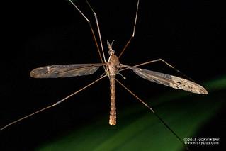 Crane fly (Tipulidae) - DSC_2016