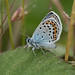 Silver-studded Blue 1130963