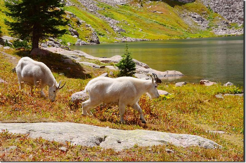 Mountain goat at upper willow Lake (13)