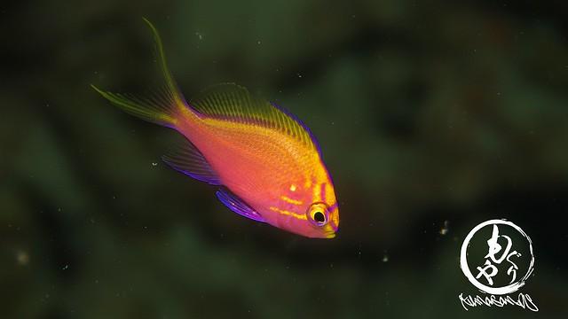 ハナゴンベ幼魚ちゃんはかなりシャイな子になってきた。。でもカワイイ♪