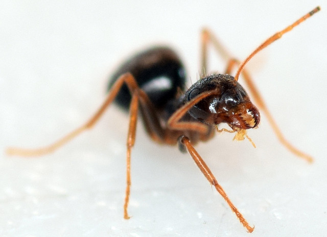 3.9 mm winter ant worker