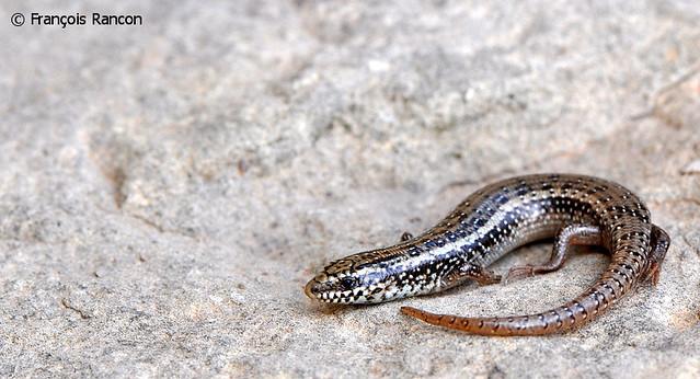 Mini Chalcides ocellatus tiligugu