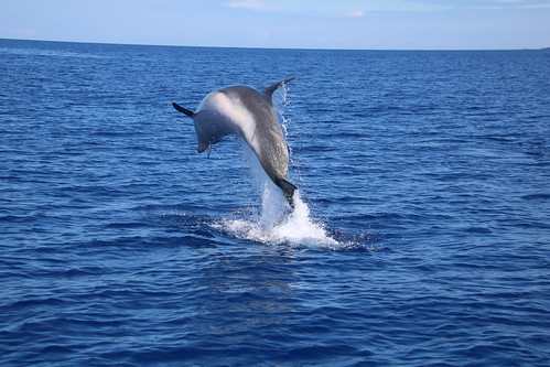 Tursiops truncatus - delfín mular - bottlenose dolphin