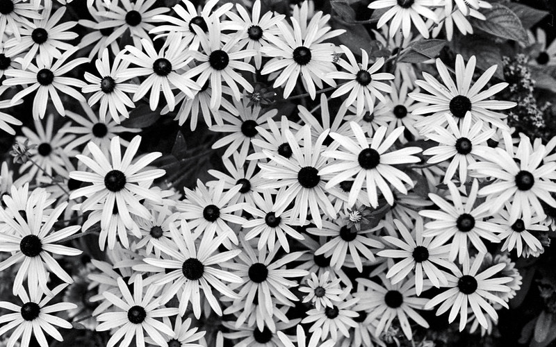 Monochrome Black Eyed Susans