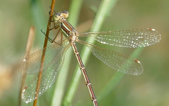 Migrant Spreadwing (Lestes barbarus)