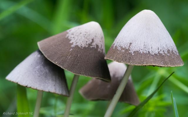 Psathyrella conopilus, Nikon D500, Sigma APO Macro 150mm F2.8 EX DG HSM