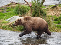 Alaska_BrooksFalls_20180824-143158_PALE6798#