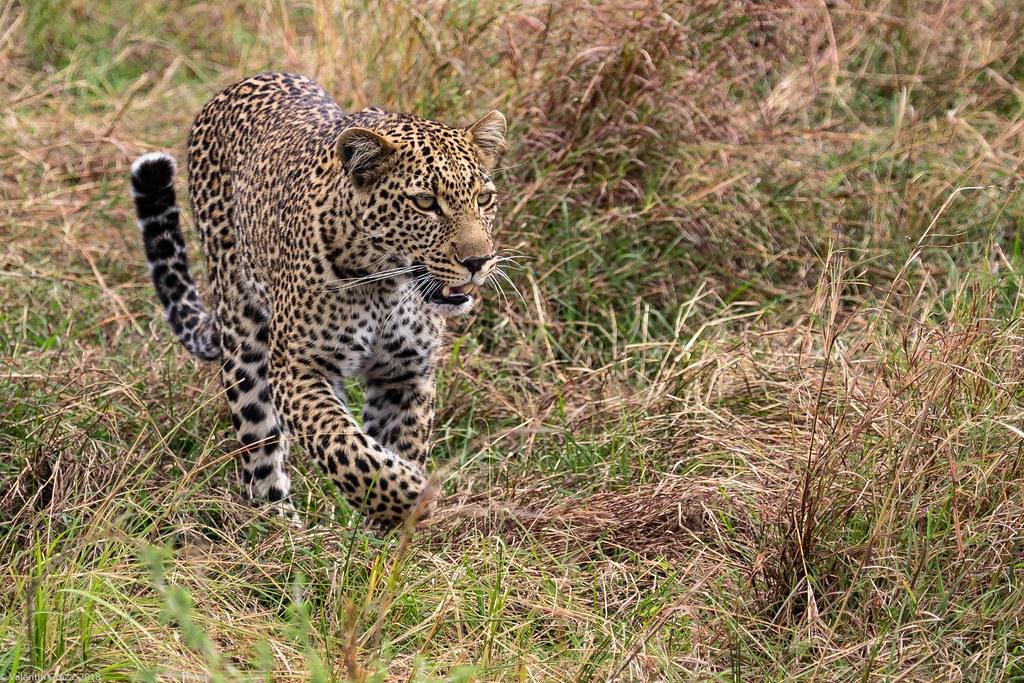 Maasai Mara_13sep18_17_leopard