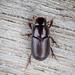 Dung Beetle sp. - Aphodius rufipes