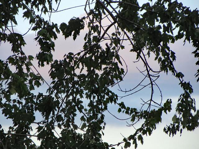 Tree Branch Silhouette., Canon POWERSHOT ELPH 520 HS