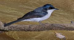 alice river - restless flycatcher