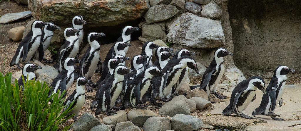 Black Footed Penguin_3