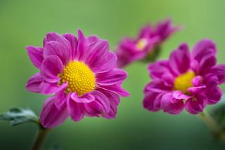 chrysanthemum 5027